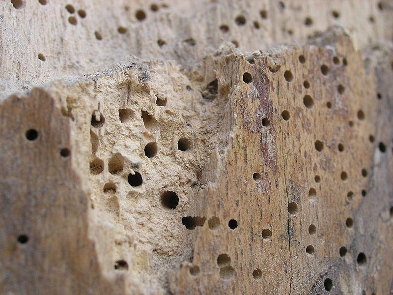 Soluci n para la carcoma for Polilla madera imagenes